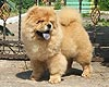 maximize chow-chow puppy