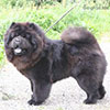 Chow-chow Incipit XENA