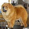 Chow-chow Paramount AMERICAN OUTLAW