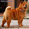 Chow-chow LAV STORY NORMANDIA