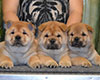 Chow-chow puppies in Moscow