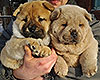 chow chow smooth puppies