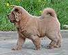 cinnamon smooth chow-chow puppy