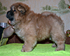 chow chow puppy Altair Divine Favorite