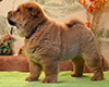 chow chow puppy Antares Fearless Winner