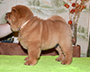 chow chow puppy Asterion Mighty Giant