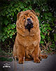 chow-chow smooth puppy