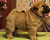 chow chow puppie